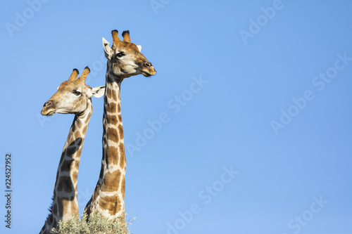 Africa, Botswana, Kgalagadi Transfrontier Park, Giraffes