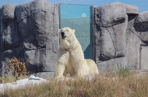 Spoed Foto op Canvas Ijsbeer polar bear in zoo
