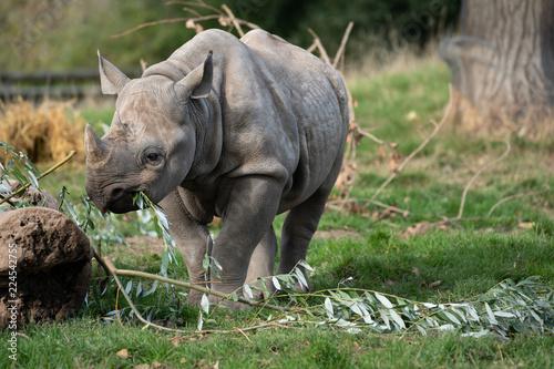 Fotobehang Neushoorn Baby Rhino