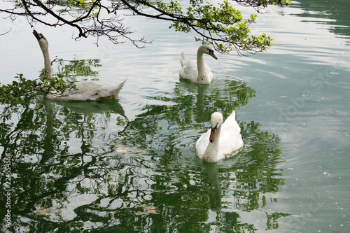 Foto op Canvas Zwaan Tree white swan in the Lake Bled Slovenia