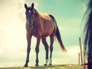 Fototapeta Brown wild horse on meadow idyllic field