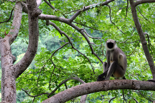 The black-faced Indian monkey sitting on a branch