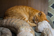 A sleeping red cat on a background of an old white wall in a medina. Essaouira