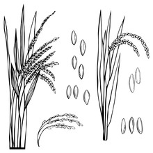 Spikelet Of Rice With The Leav...
