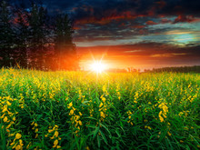 Beautiful Landscape Yellow Flower Field With Sunset Or Sunrise Background.