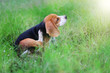 Beagle dog scratching body in the field .