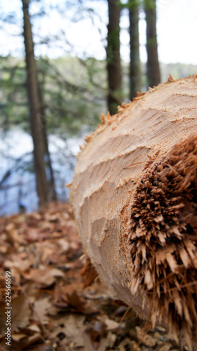 Foto op Plexiglas Macrofotografie Macro photo of Tree trunk gnawed & felled by beavers teeth in the woods next to a lake in Massachusetts, New England USA