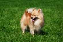 The Dog Breed Pomeranian Spitz