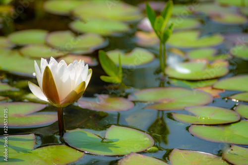 Fotobehang Waterlelies Whit water lily blossom