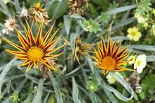 Flower Gazania On Background G...