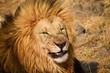 Male lion sneering