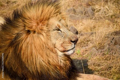 Staande foto Leeuw Male Lion