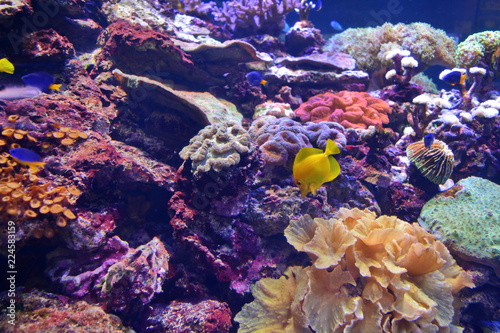 Deurstickers Onder water Zebrasoma flavescens. Bright yellow tropical fish and colored corals under water