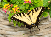 Male Eastern Tiger Swallowtail Butterfly Feeding On Lantana Flowers In A Summer Garden