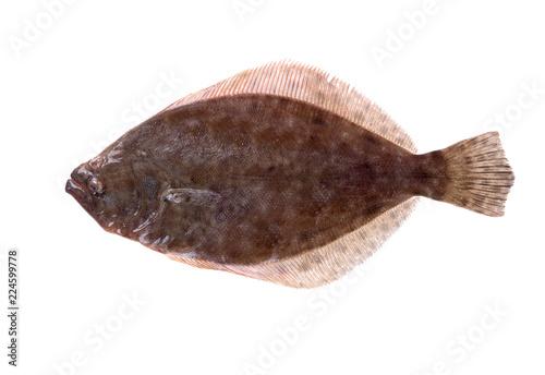 Fotografia, Obraz Southern Flounder (Paralichthys lethostigma)