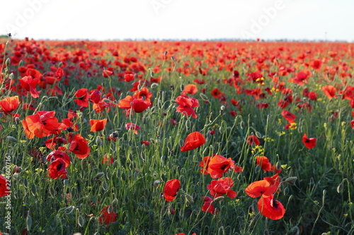 Poster Klaprozen Poppies flowers on green field at backlight. Wild big fresh flower of poppy