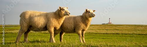 Friesische Idylle - zwei Schafe nebeneinander mit Leuchtturm im Hintergrund