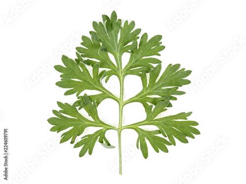 Fotografie, Obraz  Leaf of wormwood isolated on white background