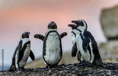 African penguins on the boulder at sunset. African penguin,Scientific name: Spheniscus demersus, also known as the jackass penguin and black-footed penguin. Boulders colony. South Africa.