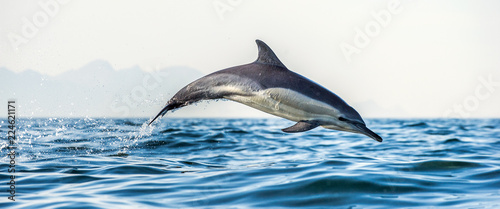 Ingelijste posters Dolfijn Dolphin in the ocean. Dolphins swim and jumping out of water. The Long-beaked common dolphin. Scientific name: Delphinus capensis. False Bay. South Africa.