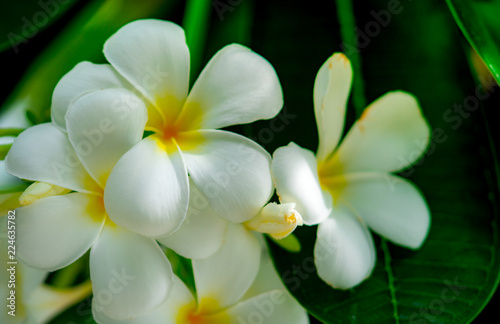 Frangipani Flower Plumeria Alba With Green Leaves On Blurred Background White Flowers