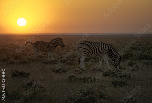 Photo  Herd of zebra walk on the savannah in Namibia as the rising sun turns the entire