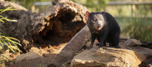 Tasmanian Devil Outside During...