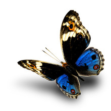 Beautiful Blue And Orange Spots Flying Butterfly, Blue Pansy (Junonia Orithya) Over Soft Shadow On White Background