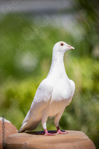 portrait full body of white feather pigeon bird standing on home loft