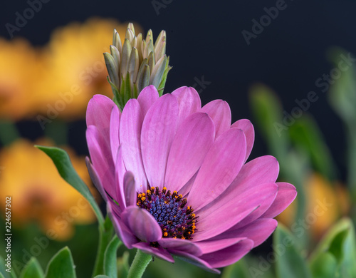 Fotobehang Macrofotografie Fine art still life color flower macro image of a single isolated wide open blooming intense violet african / cape daisy / marguerite blossom and a bud with green leaves on blue background