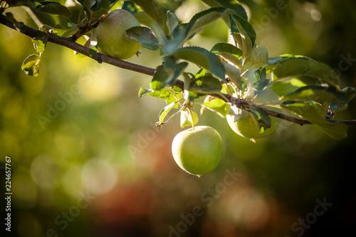 Яблоко на ветке яблони
