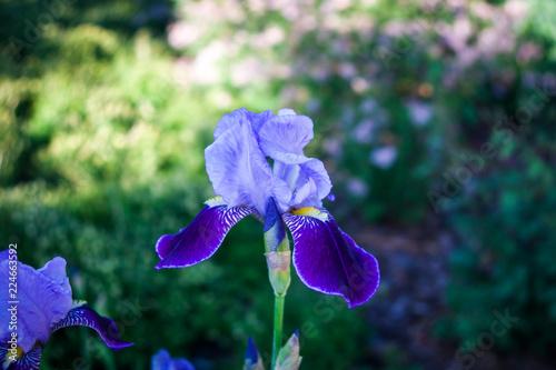 Spoed Foto op Canvas Iris Flower iris