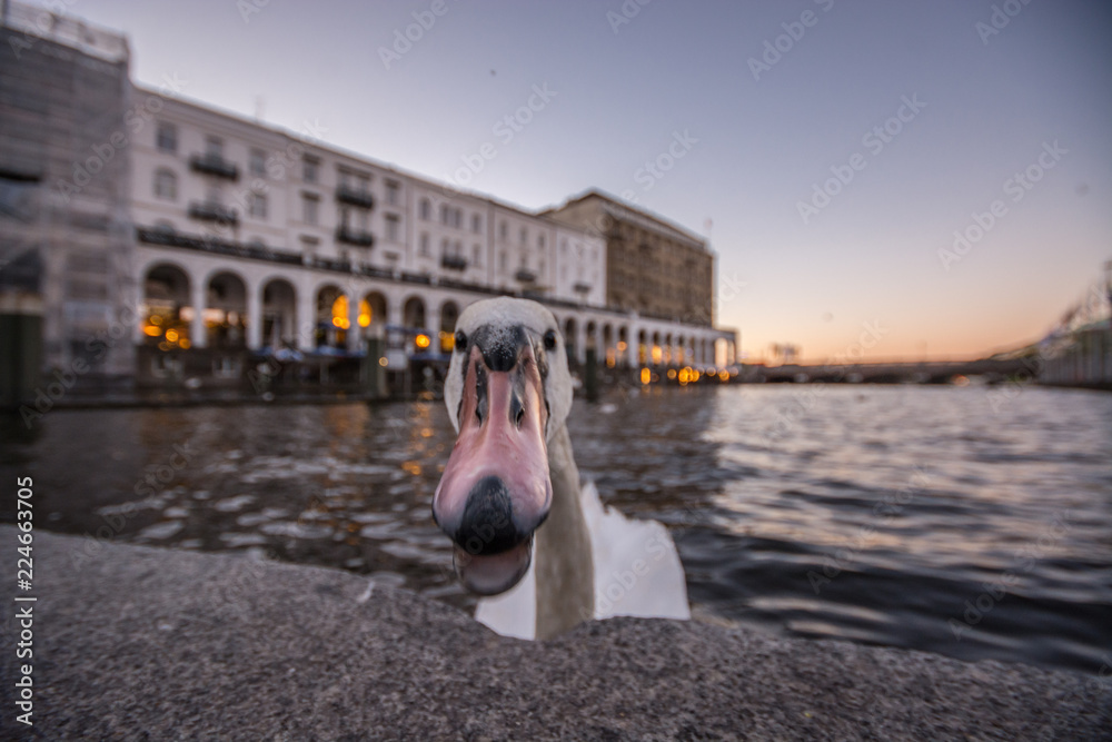 Reflections on Water. Sunset in Hamburg, Germany. Beautiful white swan trying to bite the camera. Close up.
