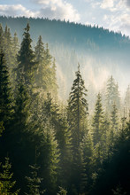 Spruce Forest On The Hill In M...