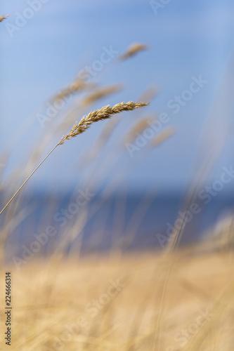Fotografía  Bents on a beach of the Baltic Sea with a blue sky