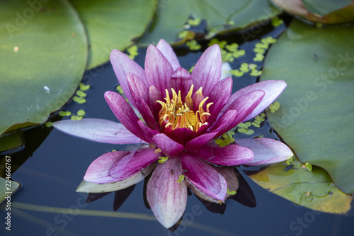 In de dag Waterlelies A pink water lily also known as Nymphaeaceae with a yellow center amongst huge green leaves in water
