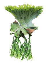 Forest Staghorn Fern Platycerium Holttumii Isolated On White Background
