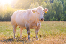 Grass Fed Belgian Blue Cow (Race De La Moyenne Et Haute Belgique) Standing And Posing On The Field - Blanc-Bleu Belge A Breed Of Beef Cattle With Double-muscling (myostatin) Or Genetically Modified
