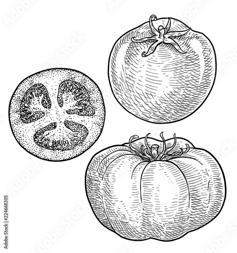 Tomato illustration, drawing, engraving, ink, line art, vector