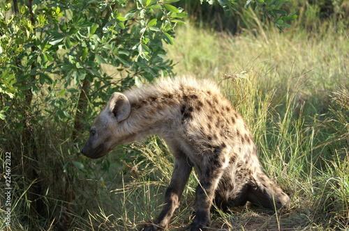 Foto op Plexiglas Hyena young hyena