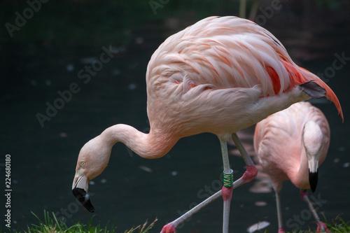 Tuinposter Flamingo flamingo black background