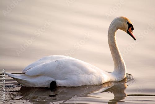 Foto op Plexiglas Zwaan Swan at sunrise