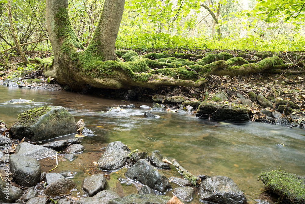 Fototapeta Creek with roots of tree in rainy wather. Oparno. Czech Republic.