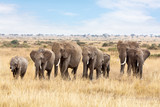 Fototapeta Sawanna - Elephant group in the Masai Mara