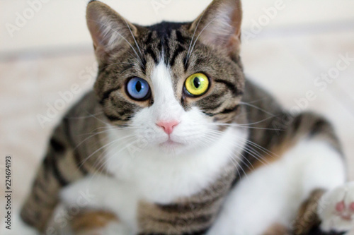 Cat with bright multicolored blue green eyes watches cautiously intently