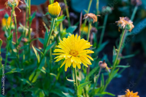 small yellow flower blooming in the back garden