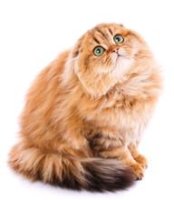 Animal, Cat, Pet Concept - Scottish Cat On A White
