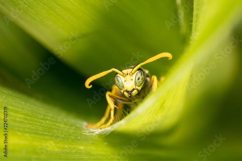 Poster Macrofotografie Portrait of a wasp on a green leaf