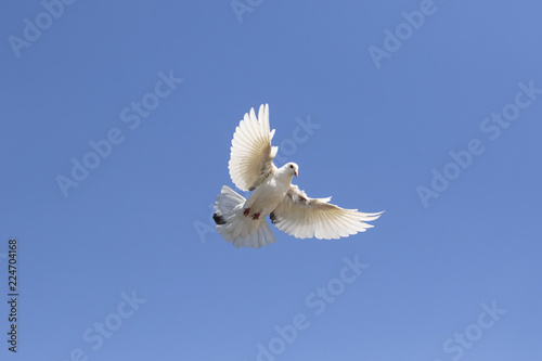 full body of white feather homing pigeon flying against clear blue sky