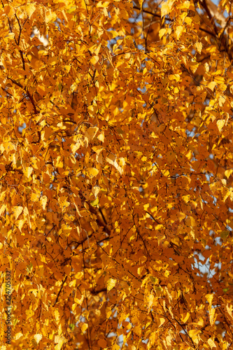 Deurstickers Berkbosje Birches in the forest in autumn as a background